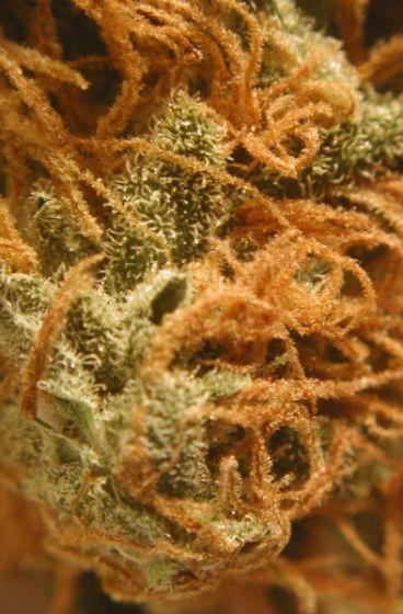 BC Cheese Regular Seeds