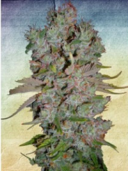 Auto Blueberry Domina Seeds