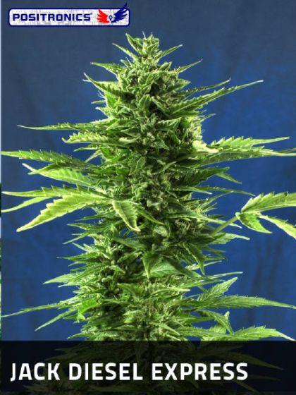 Jack Diesel Express Seeds