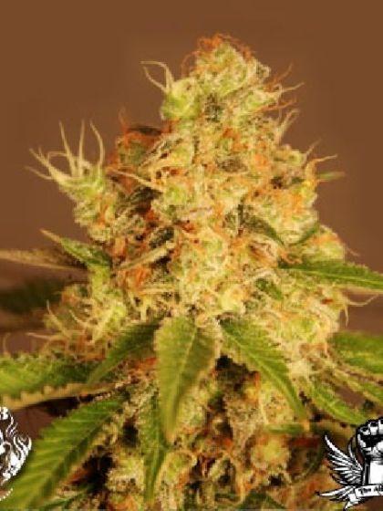 Auto Diesel Cannabis Seeds