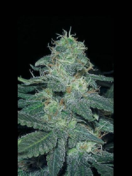 BC Diesel Seeds