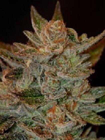 Blue OG Seeds