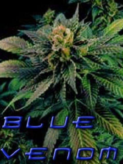 Blue Venom Seeds