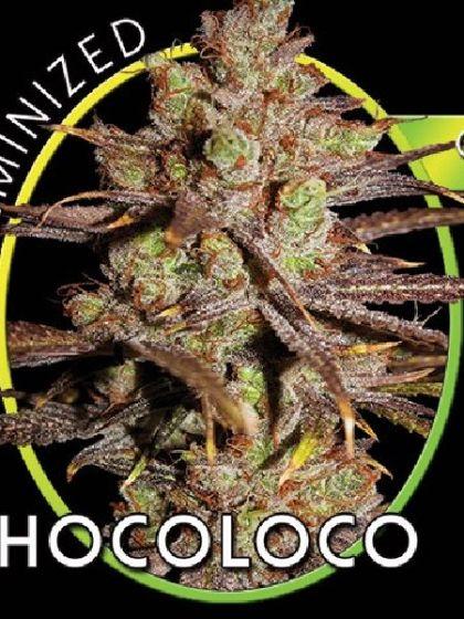 Chocoloco Seeds