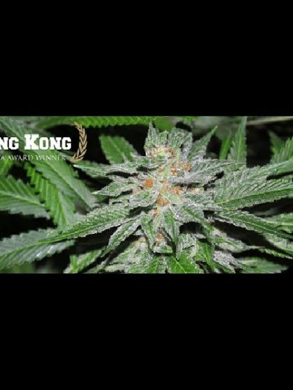 King Kong Seeds