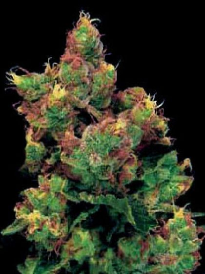 Midnight Kush Seed