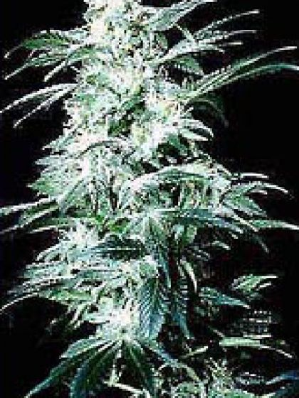 Northern Lights Special Seeds