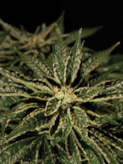O.Z. Kush Seeds