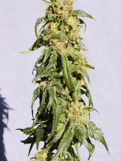 Power Skunk Automatic Seeds