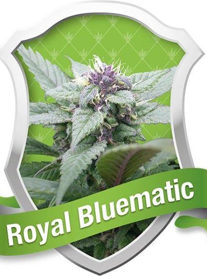 Royal Bluematic Seeds