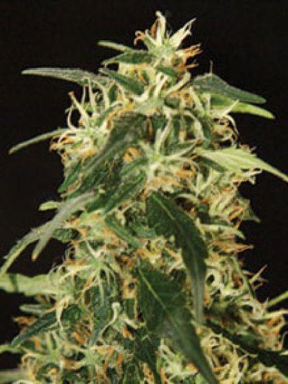 Silverstar Haze Seeds