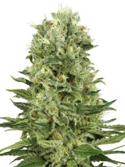 Skunk #1 Automatic Seeds
