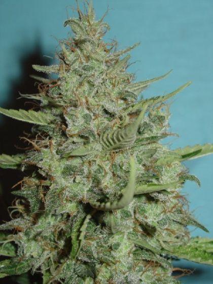 Super Crystal Seeds
