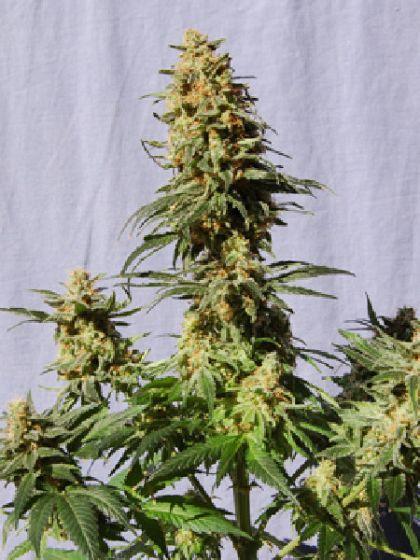 White Domina Seeds