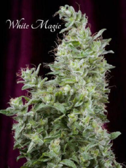 White Magic Seeds
