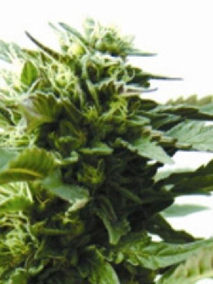 Bubba Kush Regular Seeds