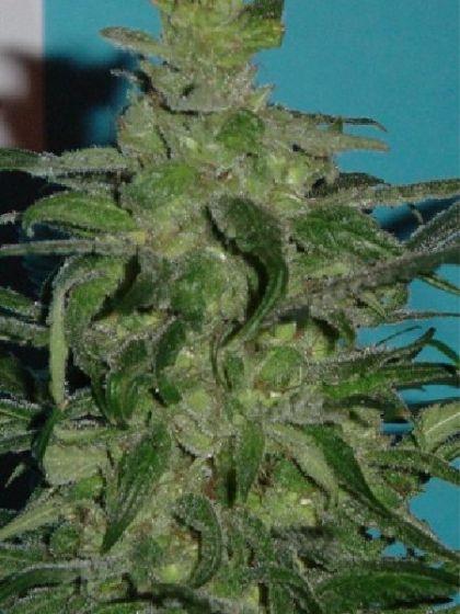 Chemo Seeds