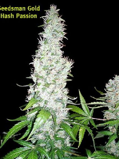 Hash Passion Seeds