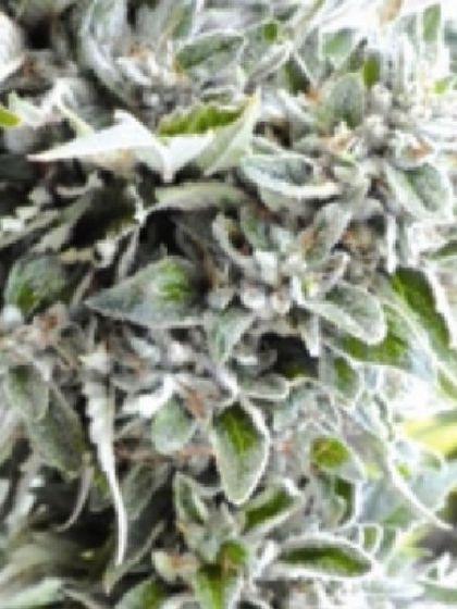 OG Kush Regular Seeds
