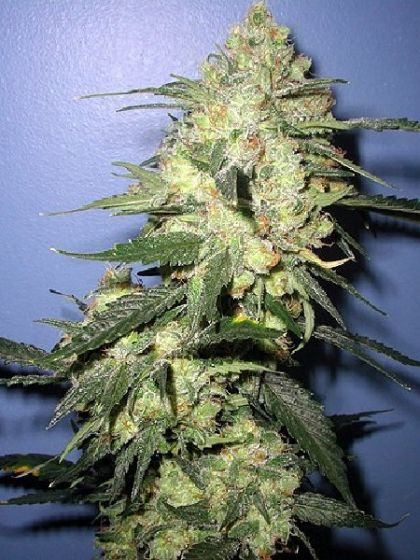 Stinky Seeds