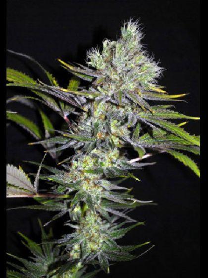 Sweet & Sour Widow Seeds