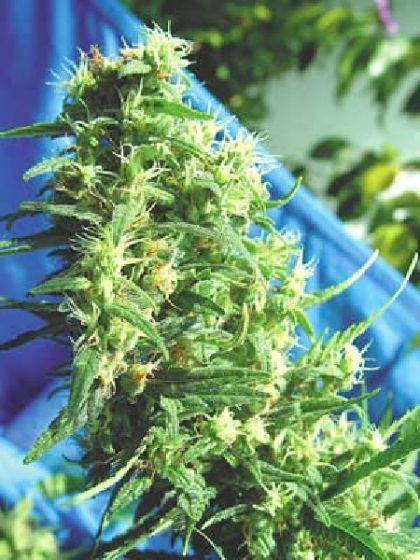 Thai Tanic Seeds - 10