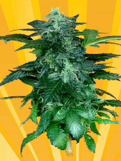 Pixie Punch Auto Seeds
