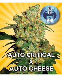 Auto Critical x Auto Cheese Seeds