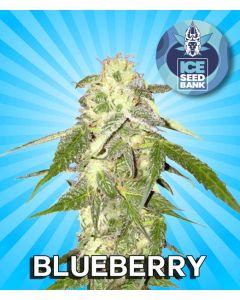 Blueberry Feminised Seeds