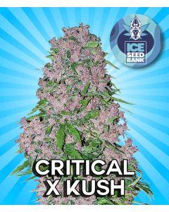 Critical x Kush Feminised Seeds