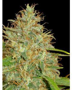 Afghan Kush X Black Domina Seeds
