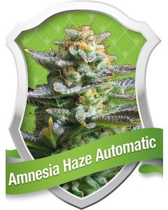 Amnesia Haze Auto Seeds