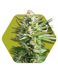 Amnesia Haze XL Seeds