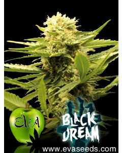 Black Dream Seeds