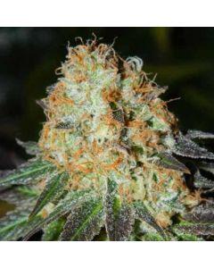 Bud Bud Bling Tingz Seeds