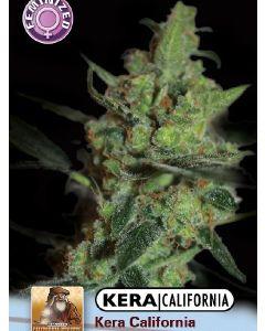 California Nugget Seeds