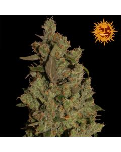 CBD Critical Cure Seeds