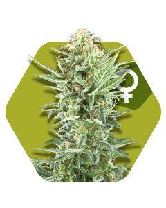 Critical Kush XL Seeds