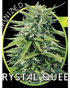 Crystal Queen Seeds