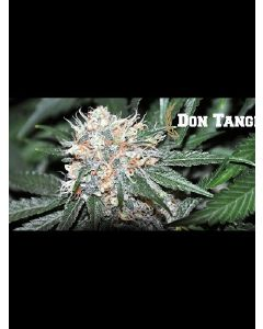 Don Tangelo Seeds