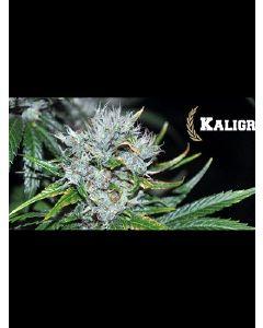 Kaligria Seeds