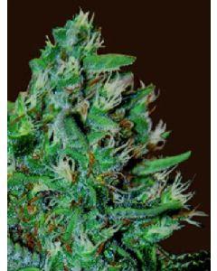 OG13 Seeds