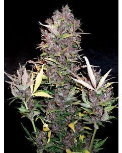 Purple Ryder Seeds