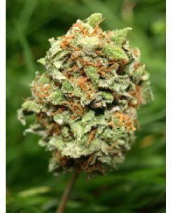 Rocky Mountain High Seeds