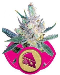 Royal Cheese Fast Version Seeds