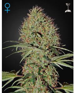 Super Bud Auto Seeds