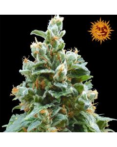 Vanilla Kush Seeds