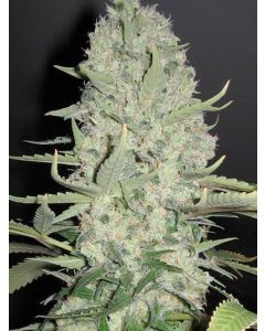 White Widow X Big Bud Seeds