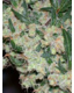 ASH (Afgan Skunk x Afgan Haze) Seeds