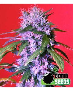 Berry Bomb Regular Seeds